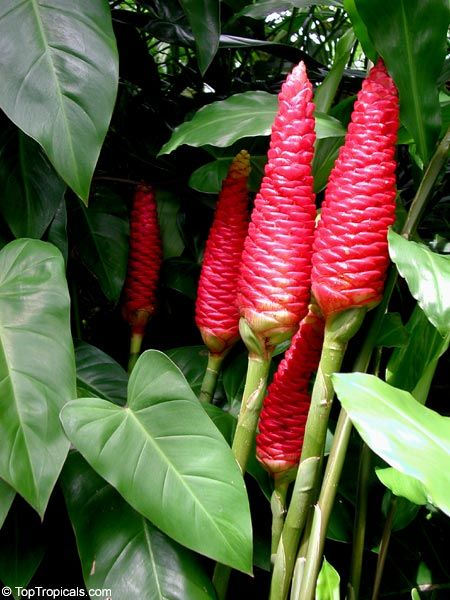 how to grow pine cone ginger