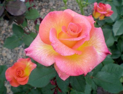 Learn Which Roses Grow Best In North Carolina And The Raleigh Durham Chapel Hill Region Best Roses North Carolina Triangle When To Plant Roses