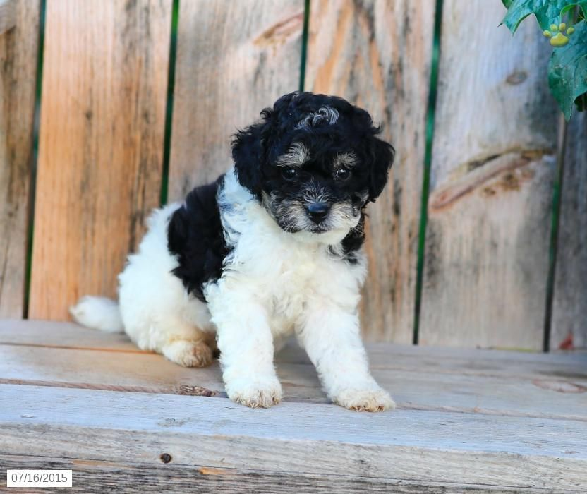 Kelly Cavapoo Puppy for Sale in Ronks, PA Cavapoo