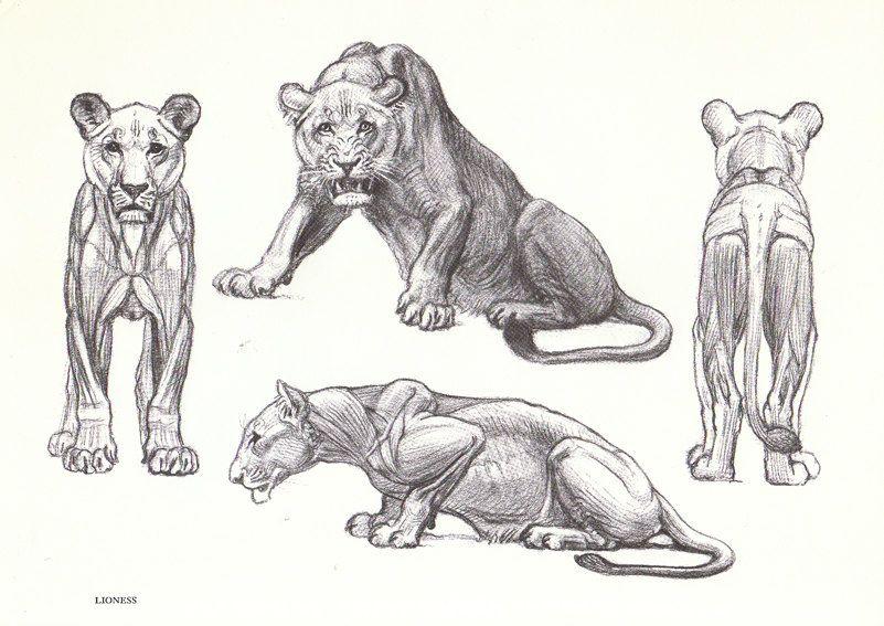 Lion Anatomy Anatomy Pinterest Anatomy Lions And Animal Anatomy