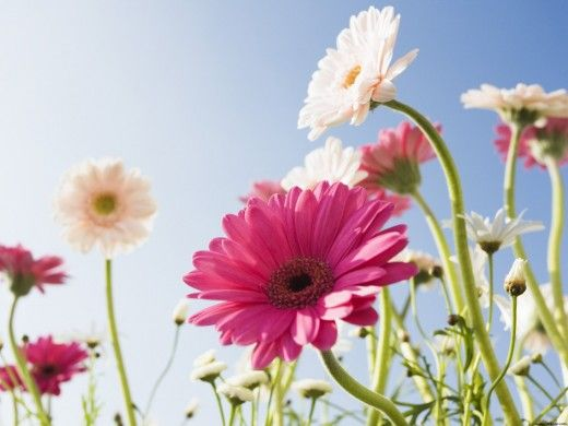 Flowers Pictures With Names In Tamil Beautiful Flowers Wallpapers Daisy Wallpaper Beautiful Flowers