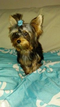 Available Puppies Yorkshire Terrier Terrier Toy Dog Breeds