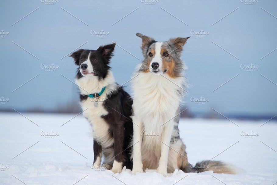 Dog Border Collie On A Walk In Winte By Oleghz On Creativemarket