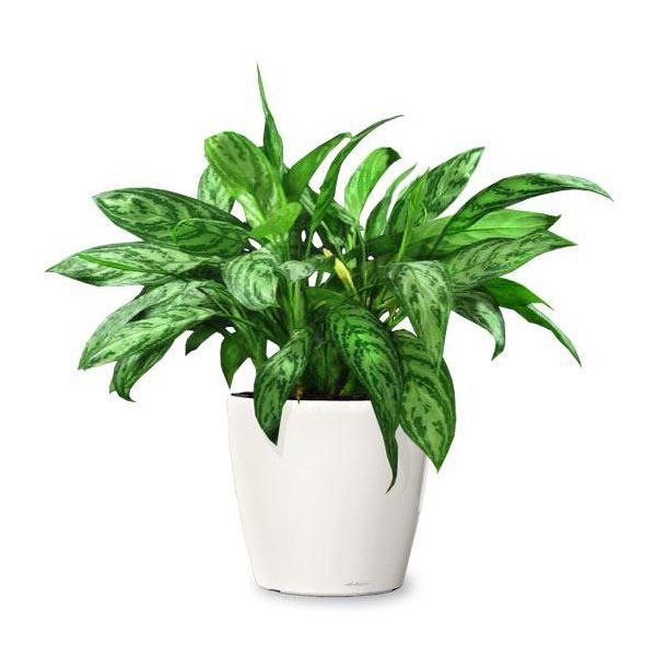 Aglaonema commutateur plante d polluante neutralise le for Ou acheter plante interieur