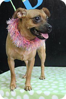 Bedminster Nj Pug Chihuahua Mix Meet Zelda A Puppy For