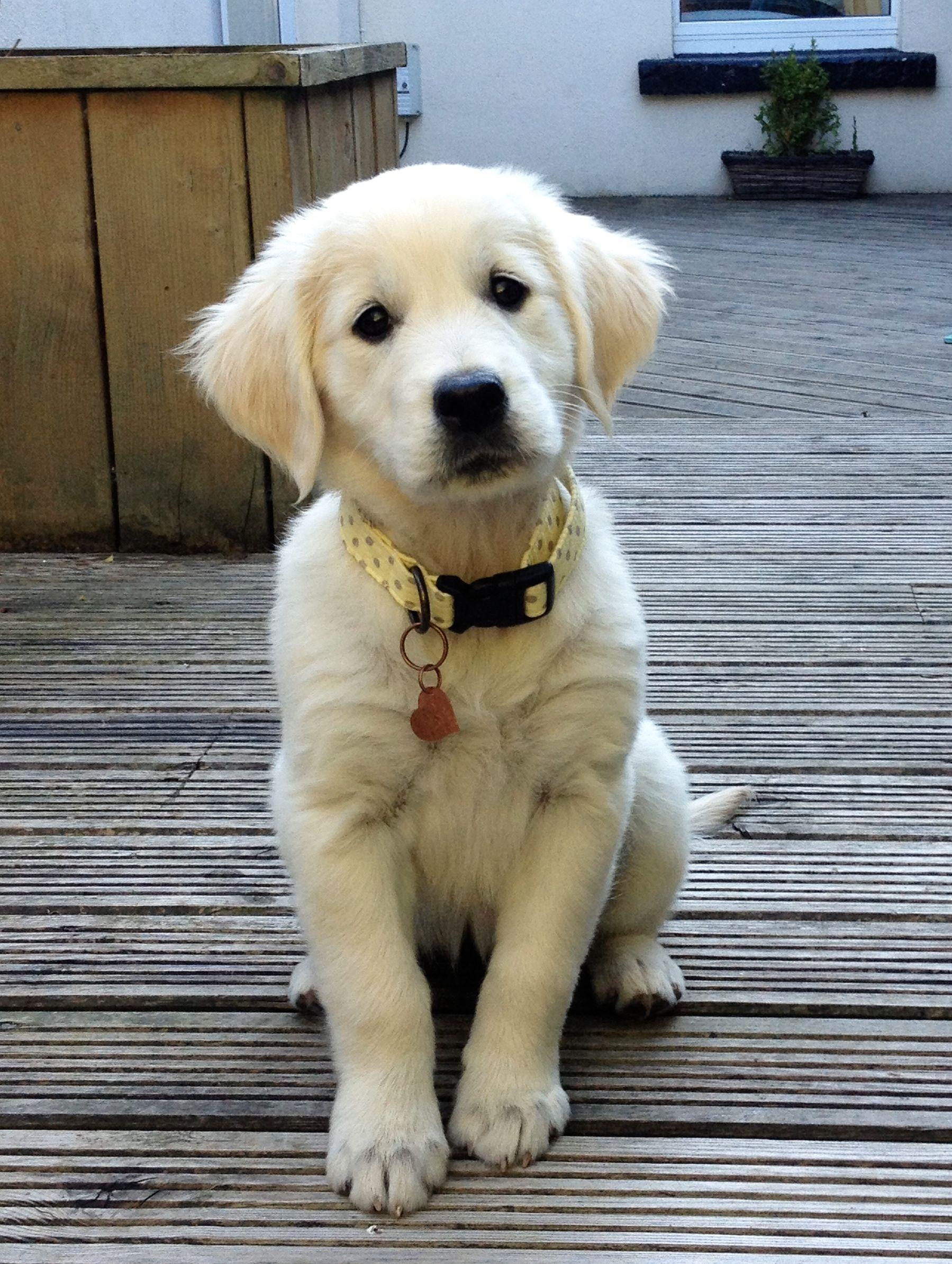 Rio the Golden Retriever cute puppy goldenretriever