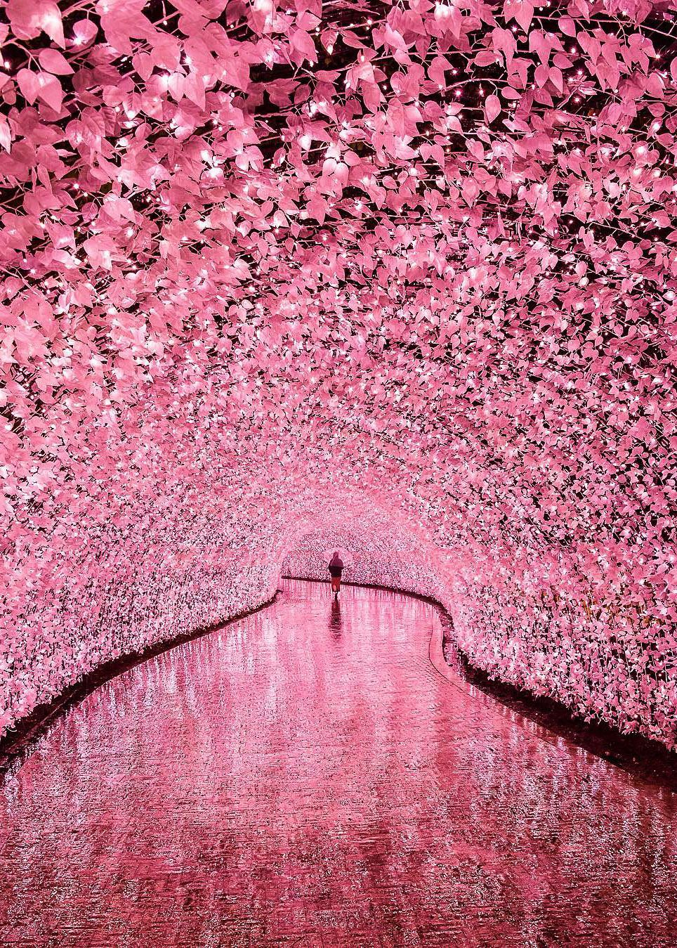 Colour My World Cherry Blossom Japan Cherry Blossom Nabana No Sato