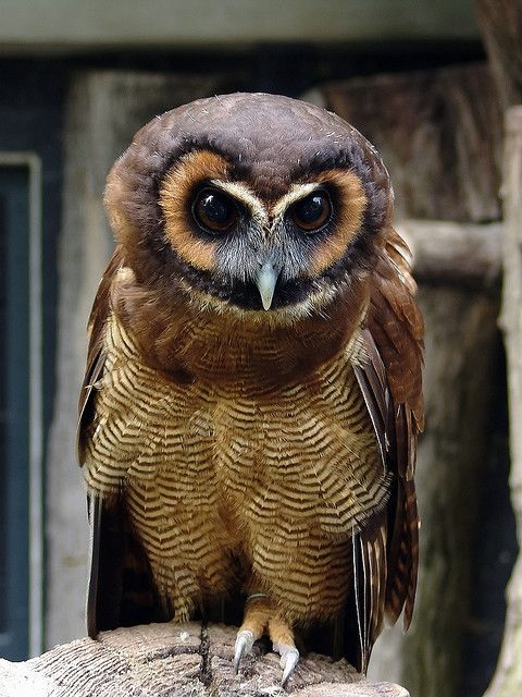 Strix Leptogrammica By Joachim S Muller Via Flickr Brown Wood Owl This Original Photo Has Been Altered And Is G Beautiful Birds Owl Animals Beautiful