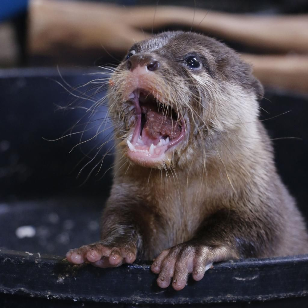 from the Dallas Zoo:  @Otter_Emergency thank for the RT! You're just otterly fantastic! #AsianSmallClawedOtter