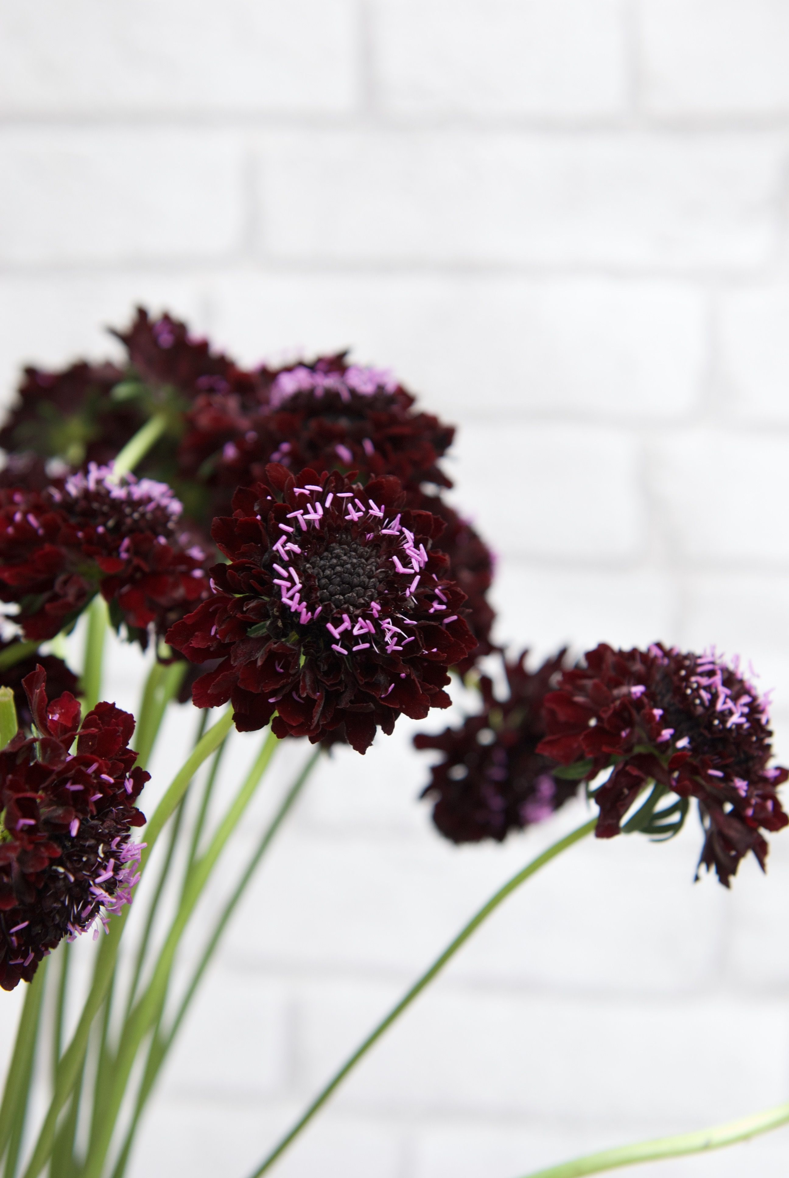 Blackberry Scabiosa Flower By Lily May Plum Wedding Flowers