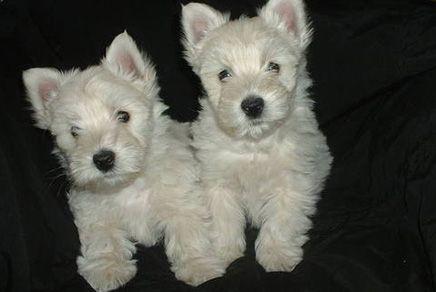 Westie Puppies Westchester Westie Terrier Terrier Puppy Westie Puppies