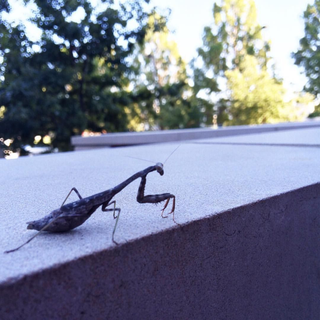 I saw this little praying mantis as I was leaving the office today. Cute little dude. #nature @illinois1867