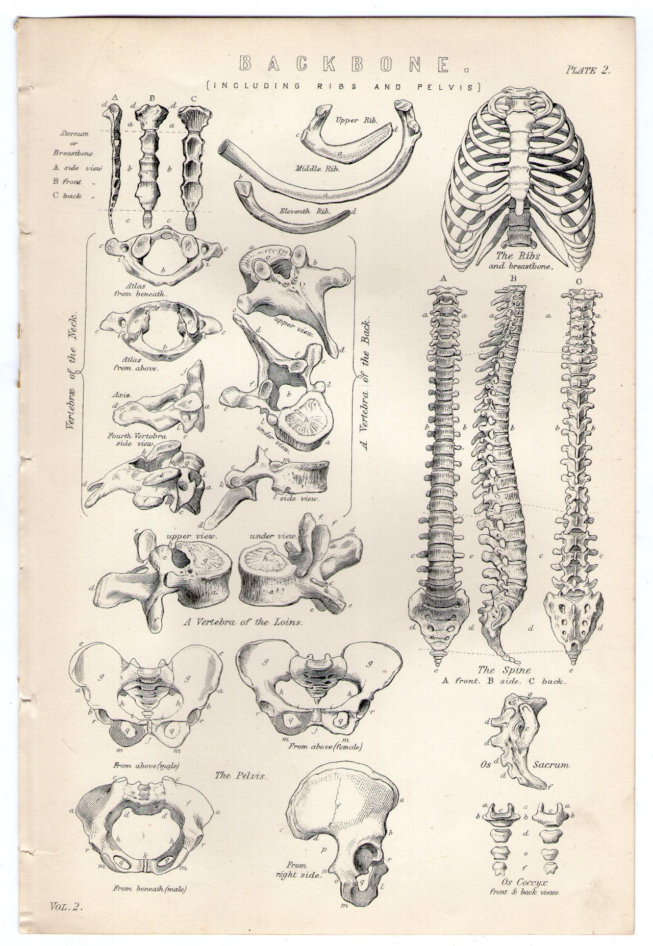 Michaelmoonsbookshop Late 19th Century Anatomical Plates From An
