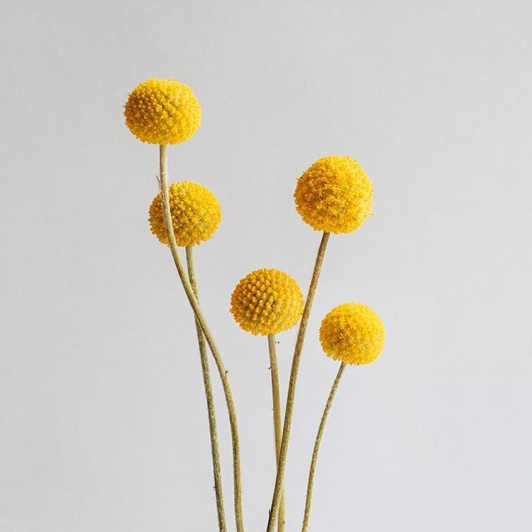Craspedia The Lollipops Of The Flower World They Come From The Genus Of Daisies And Have A Whole Host Of Common Names T In 2020 Dried Flowers Mustard Flowers Flowers
