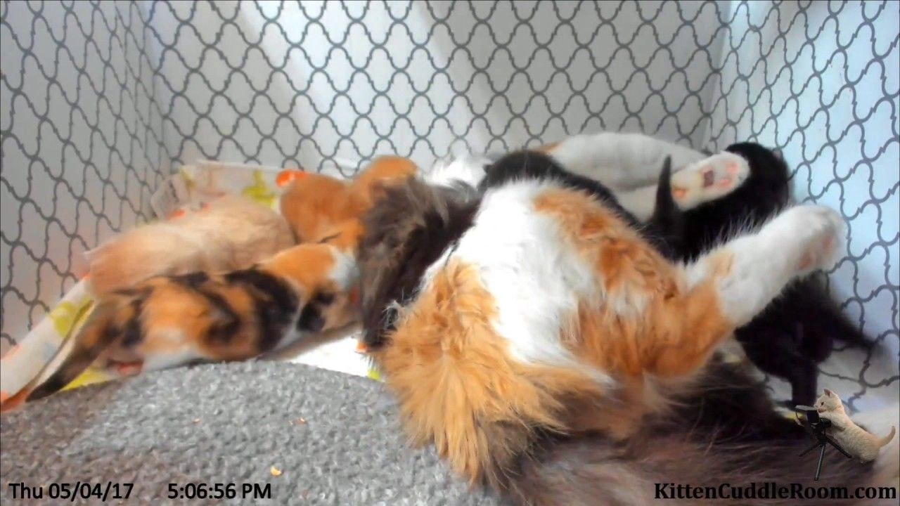 Harlequin Was Rescued By A Veterinarian Who Heard Her Meows Coming From A Taped Up Box Next To Recycling Bins In An Alley Kitten Cuddle Cat Rescue Kittens