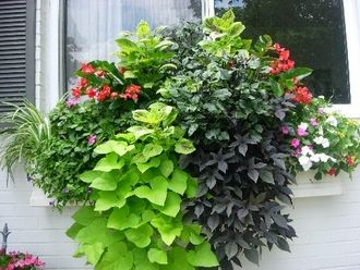 the potato plant is great in window boxes!
