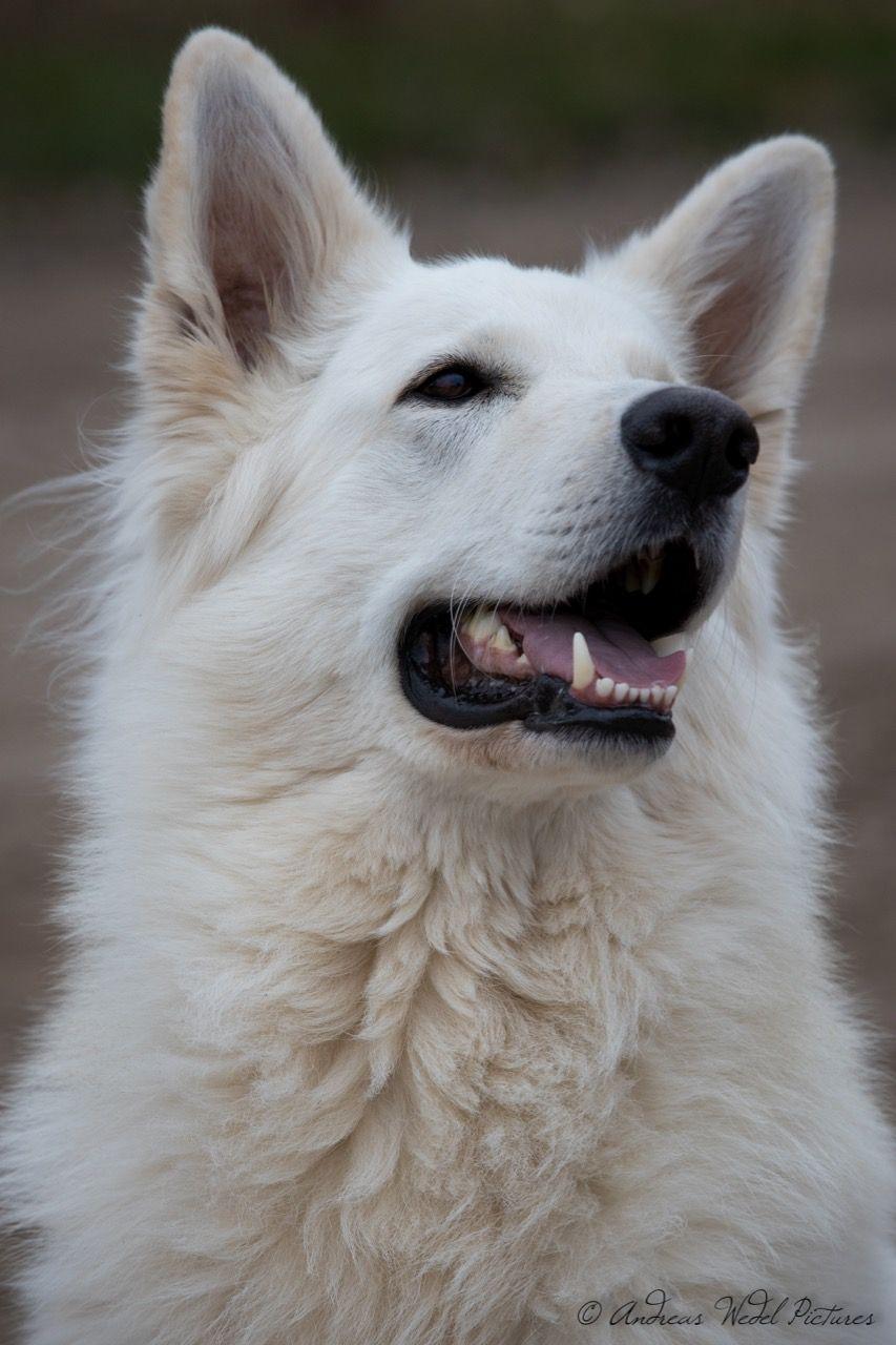 Weisserschaferhund Schaferhund Ac Schaferhund Hund Weiss