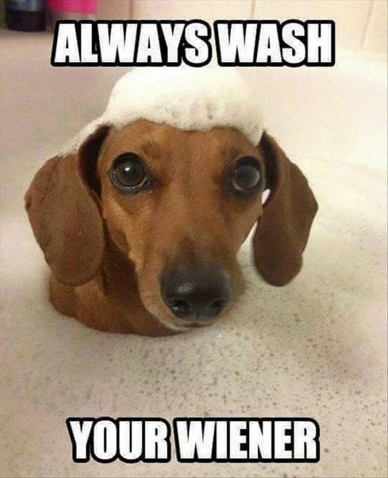 Dachshund Memes And Wiener Dog Humor Dog Jokes Dog Quotes Funny