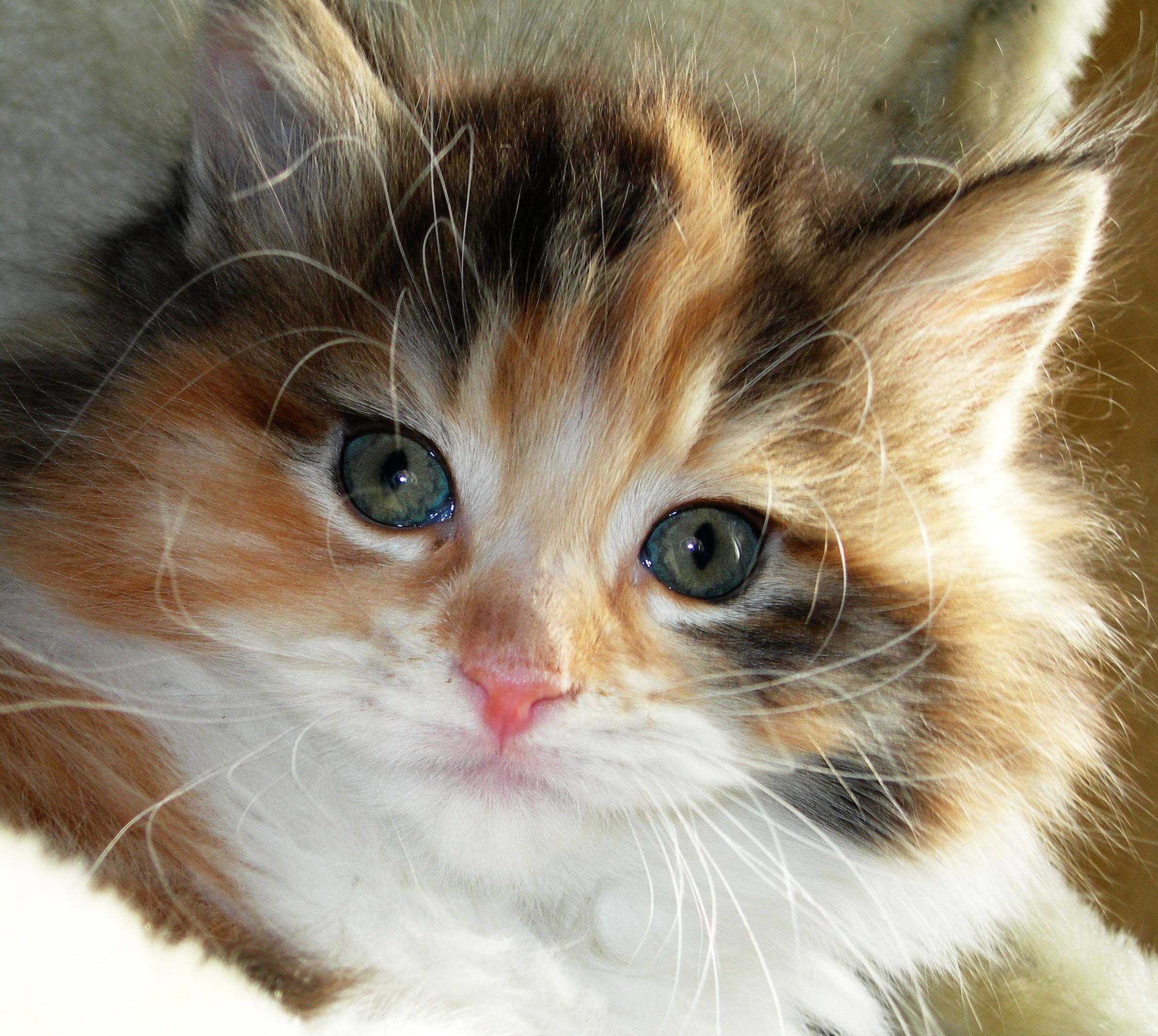 Calico Kitten Cute Cats And Dogs Cats Baby Cats