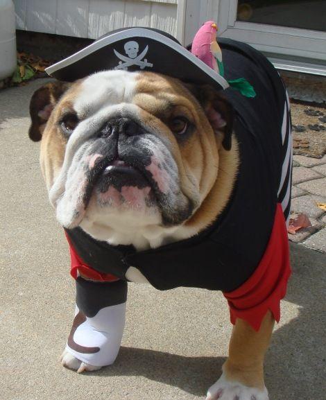 Bulldog Pirate Costume Bulldog Cute Animals Bulldog Puppies