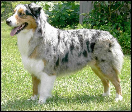 El Pastor Australiano Australian Shepherd Dog Aussie Dogs Australian Shepherd Dogs Aussie Dogs Shepherd Dog Breeds