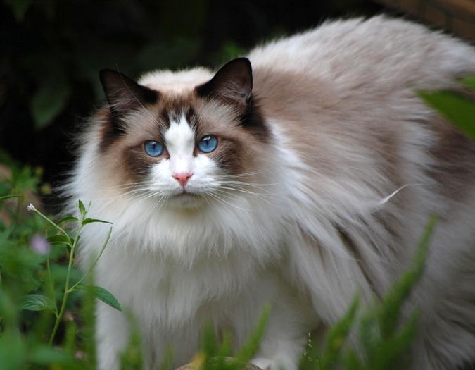 Ragdoll Breed Characteristics And Information Iamcasper Cat Breeds Cat Background Ragdoll Cat Breed