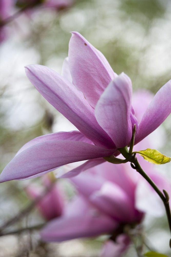 Magnolia 'Star Wars'. Photo by Rachel Warne, Gardens Illustrated