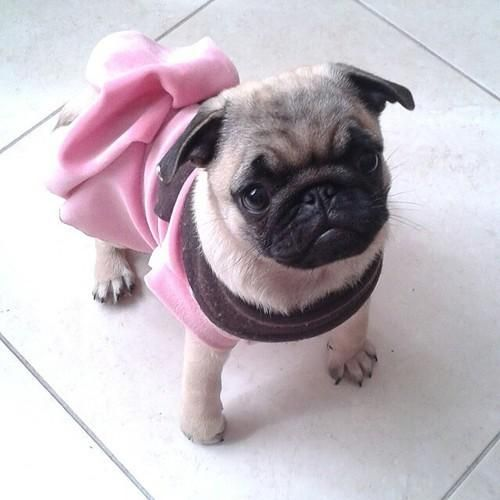 Pugs With Class Via Perros Pug Animales Bebe Bonitos