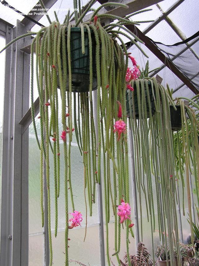 PlantFiles: Picture #3 of Rat-tail Cactus, Rattail Cactus, Flor de Látigo, Floricuerno, Junco, Junquillo, Nopalillo (Disocactus flagelliformis)