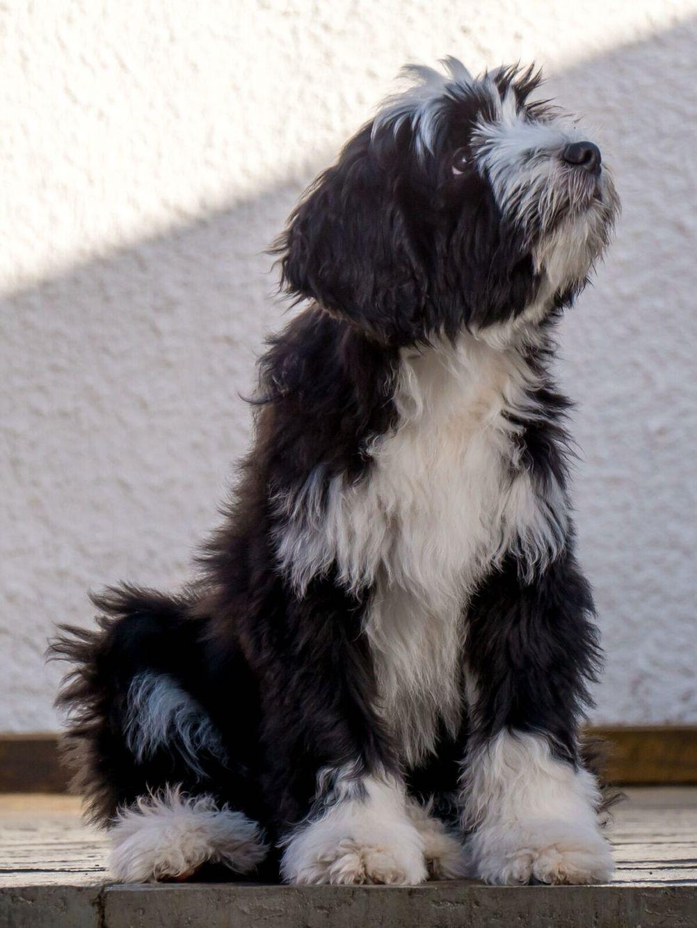 Pin By Sherry Novak On Tibetan Terriers Tibetan Terrier Terrier