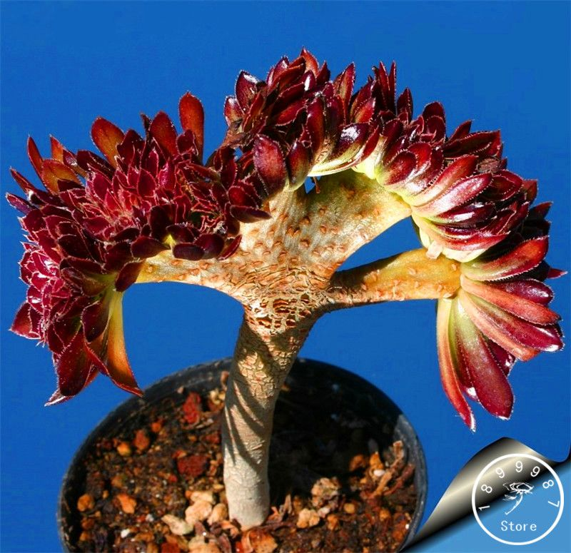 Chegada-de-novo-Suculentas-sementes-font-b-Echinopsis-b-font-tubiflora-sementes-de-cactos-rara-flor.jpg (800×775)