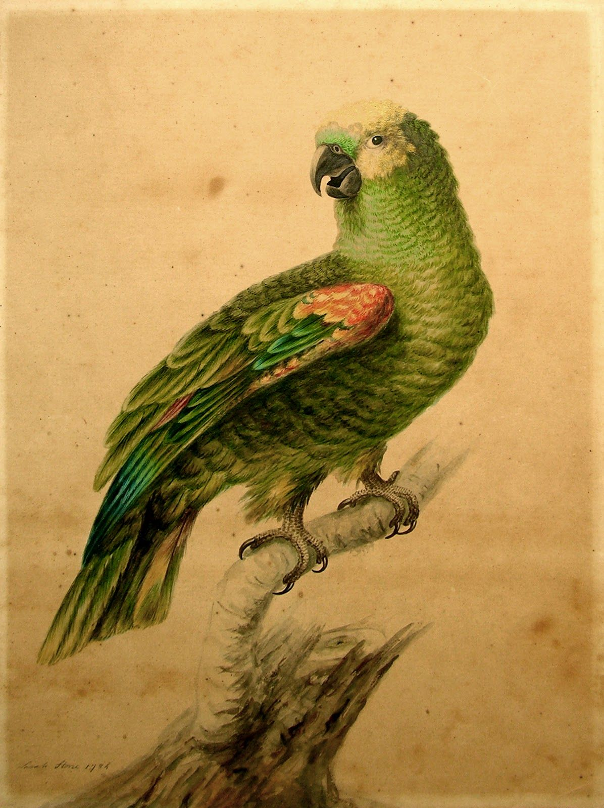 Green parrot. The Finest Watercolor of a Parrot Signed and dated by Sarah Stone, the 18th century natural history artist comissioned to paint the contents of Sir Ashton Lever's museum in London.