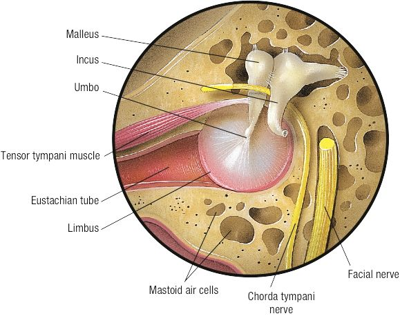 Firecracker Learn Faster Remember Everything Learn Faster Facial Nerve Advanced Learning Due to its intimate relationship to the middle ear (tympanum) it is called chorda tympani nerve. firecracker learn faster remember