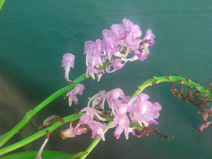 Aerides Leeana | ... -aerides-leeana-philippine-orchids-aerides-leeana-1.jpg