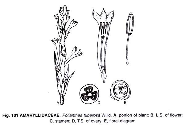 In This Article We Will Discuss About 1 General Features Of The Amaryllidaceae 2 Floral Range In The Amaryllidacea Perennial Herbs Perennials Single Flower