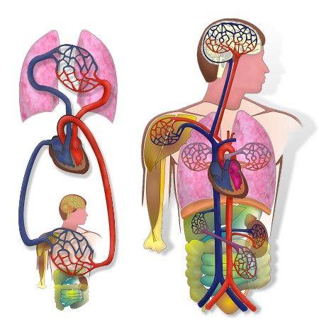 Körperkreislauf und Lungenkreislauf