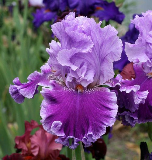 Iris louisas song flower iris pinterest iris songs and flowers iris louisas song mightylinksfo Images