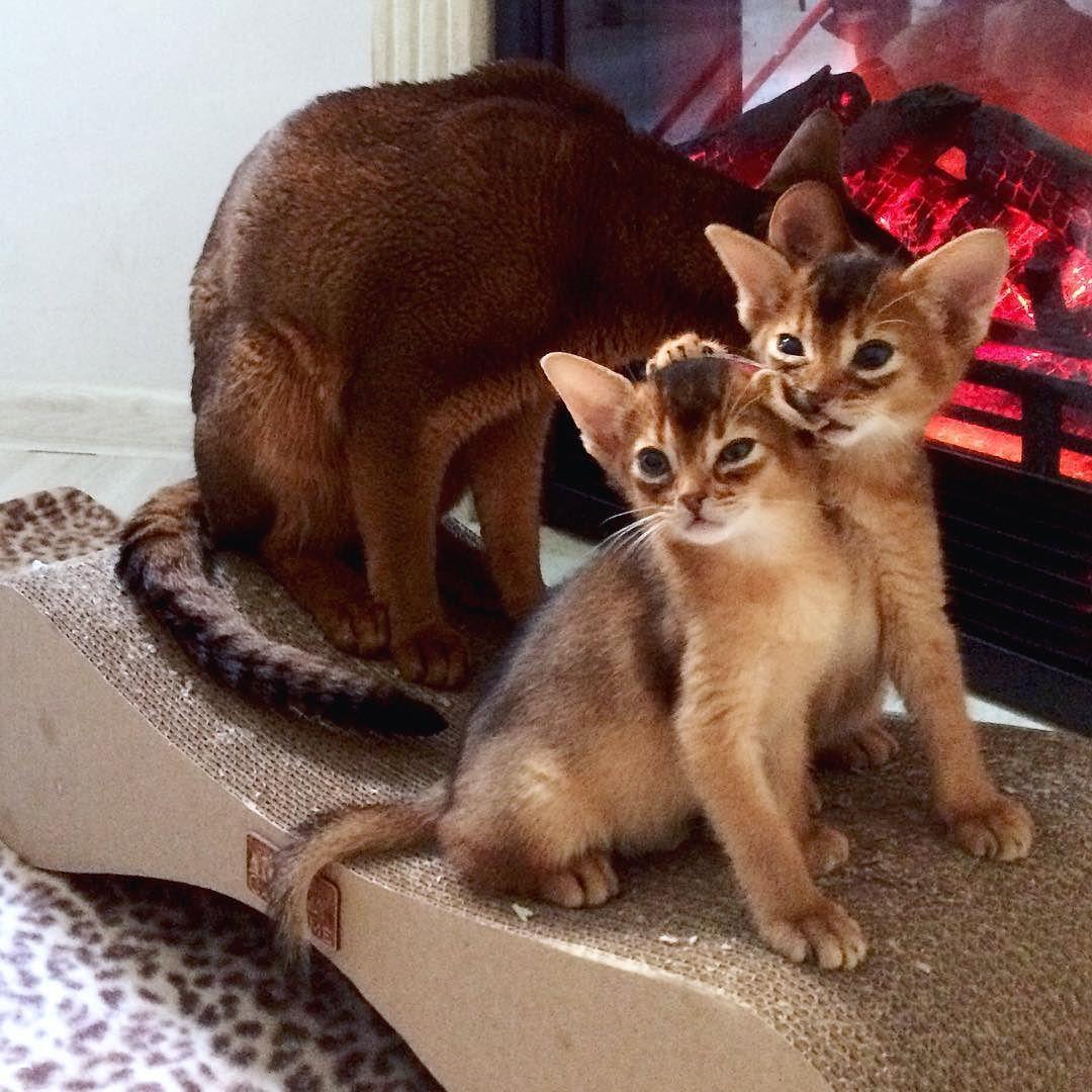 Вкусная сестрица #abyssinian #cat #dad #Mark #catstagram ...