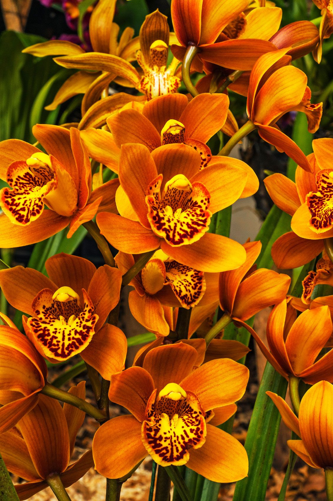 What Is A Cymbidium Orchid Information About Cymbidium Orchid Care Cymbidium Orchids Care Orchid Seeds Cymbidium Orchids