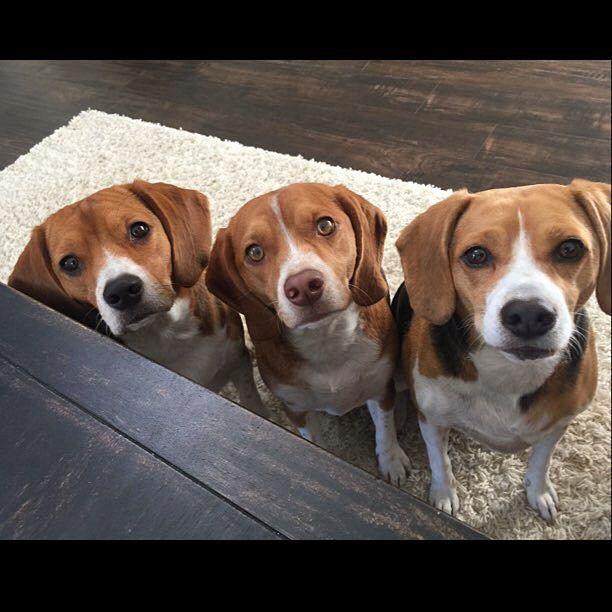 Precious Hound Puppies Beagle Dog Cute Beagles Beagle Puppy