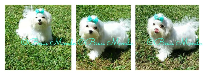 Top Quality Maltese Puppies Maltese puppy, Cute puppies