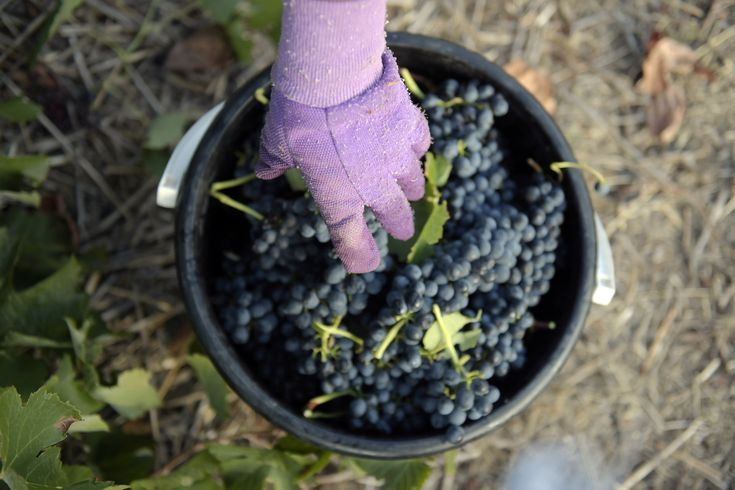 Everything you need to know about syrahshiraz wine