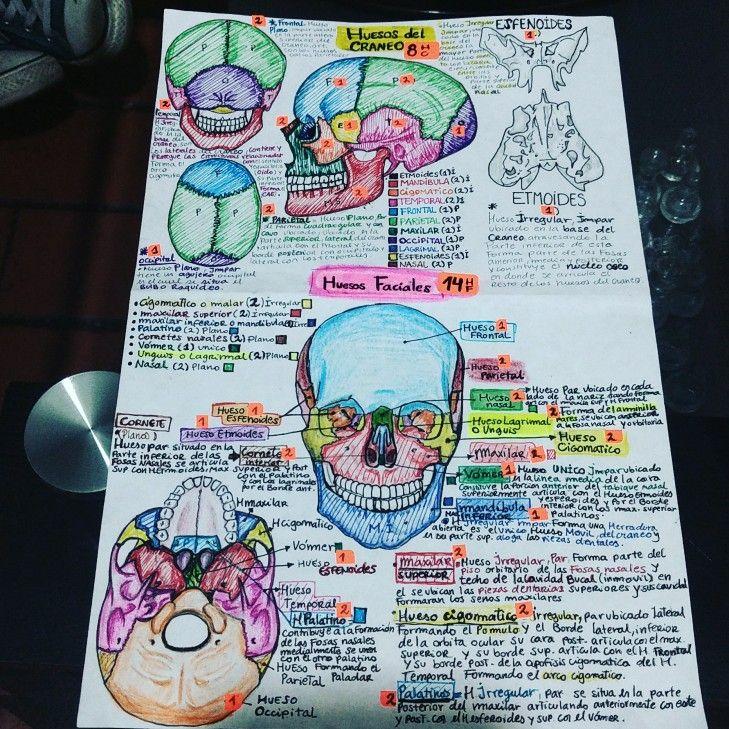 Cráneo anatomía | cráneo anatomía huesos | Pinterest | Craneo ...