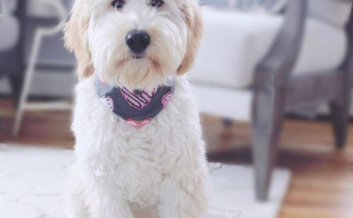 16 new goldendoodle haircut guide pictures meowlogy 23 best birdhouse you can build right now cat tree