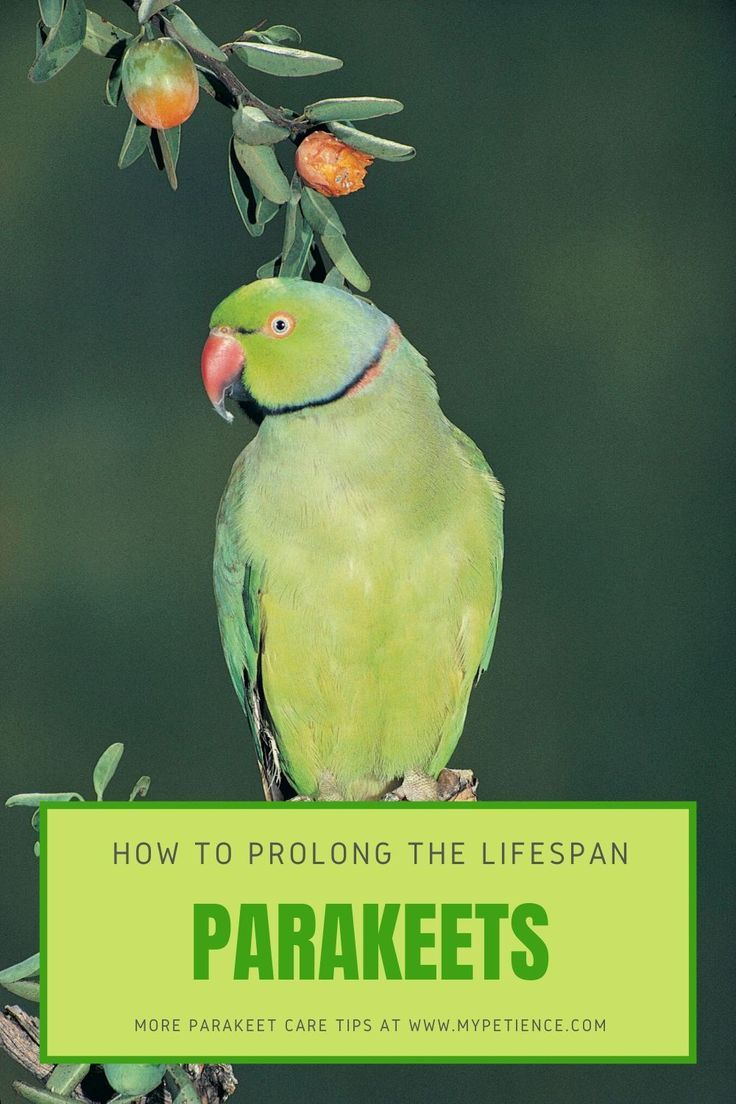 How long do parakeets live in the wild and captivity
