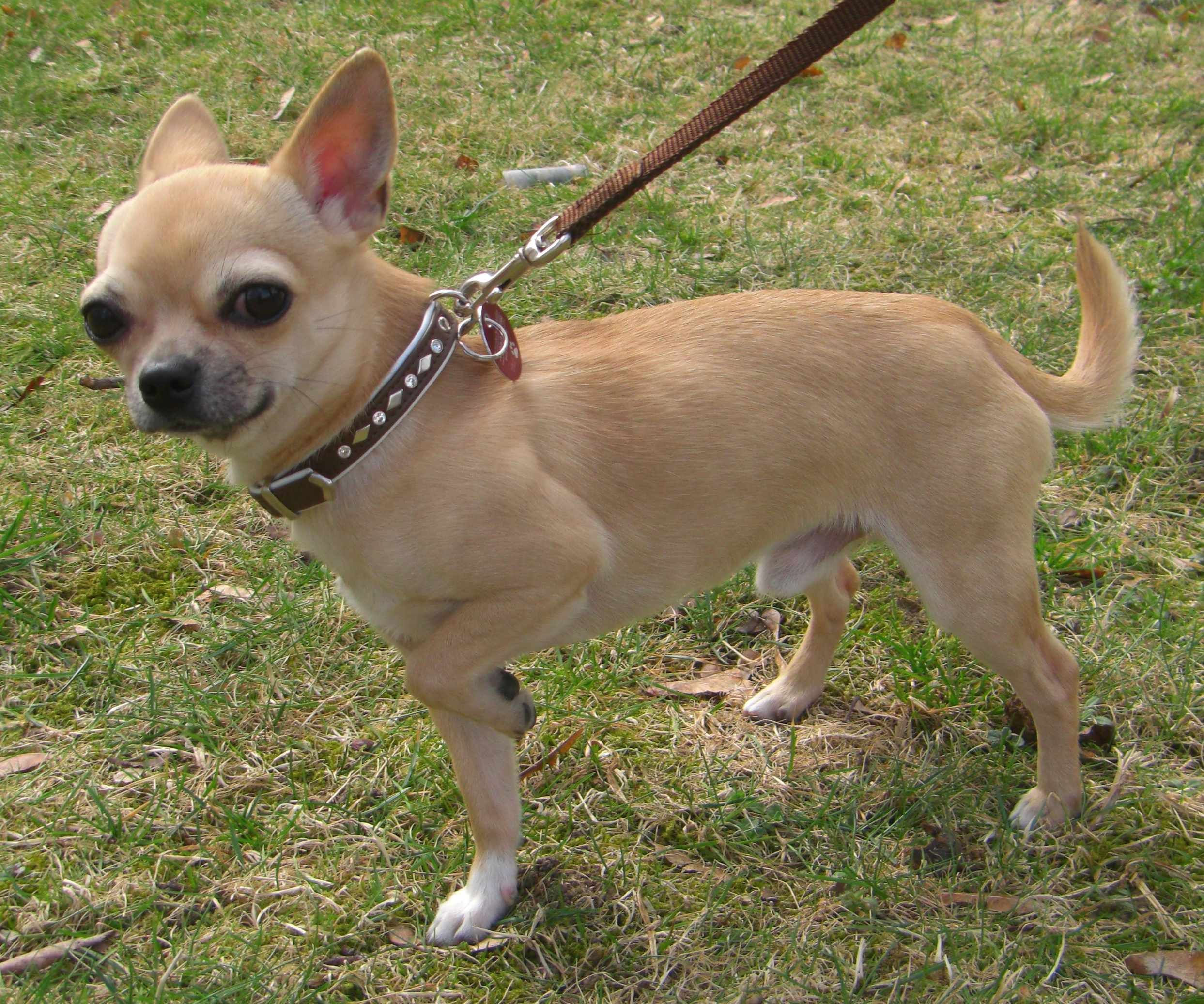 Chihuahua Dog Breeds What Dogs Chihuahua Dogs