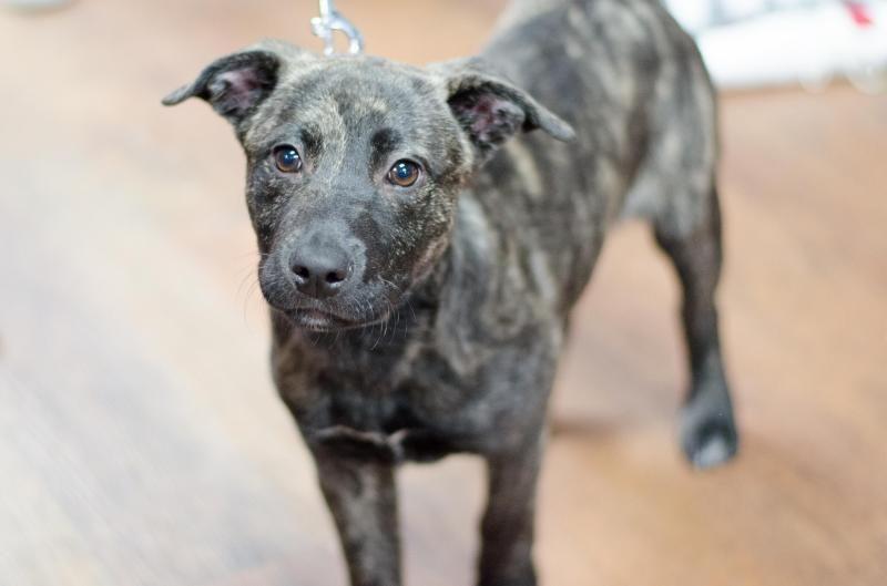 Adopt Jasmine On Plott Hound Whippet Mix Hound Dog