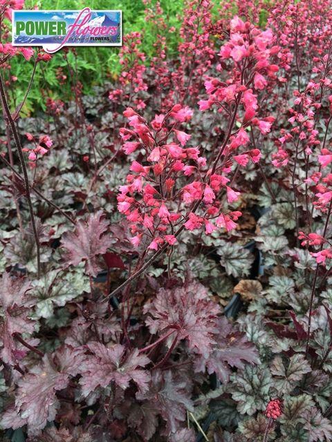 Power Flowers Heuchera Rave On Summer Plants Heuchera Shade Plants