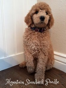 Mercedes Is An 8 Week Old Standard Poodle Puppy She Is A