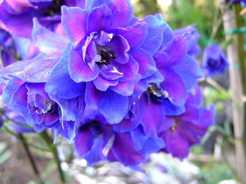 Blue And Purple Flowers July Birth Flower Larkspur Or Any Other Name Delphinium